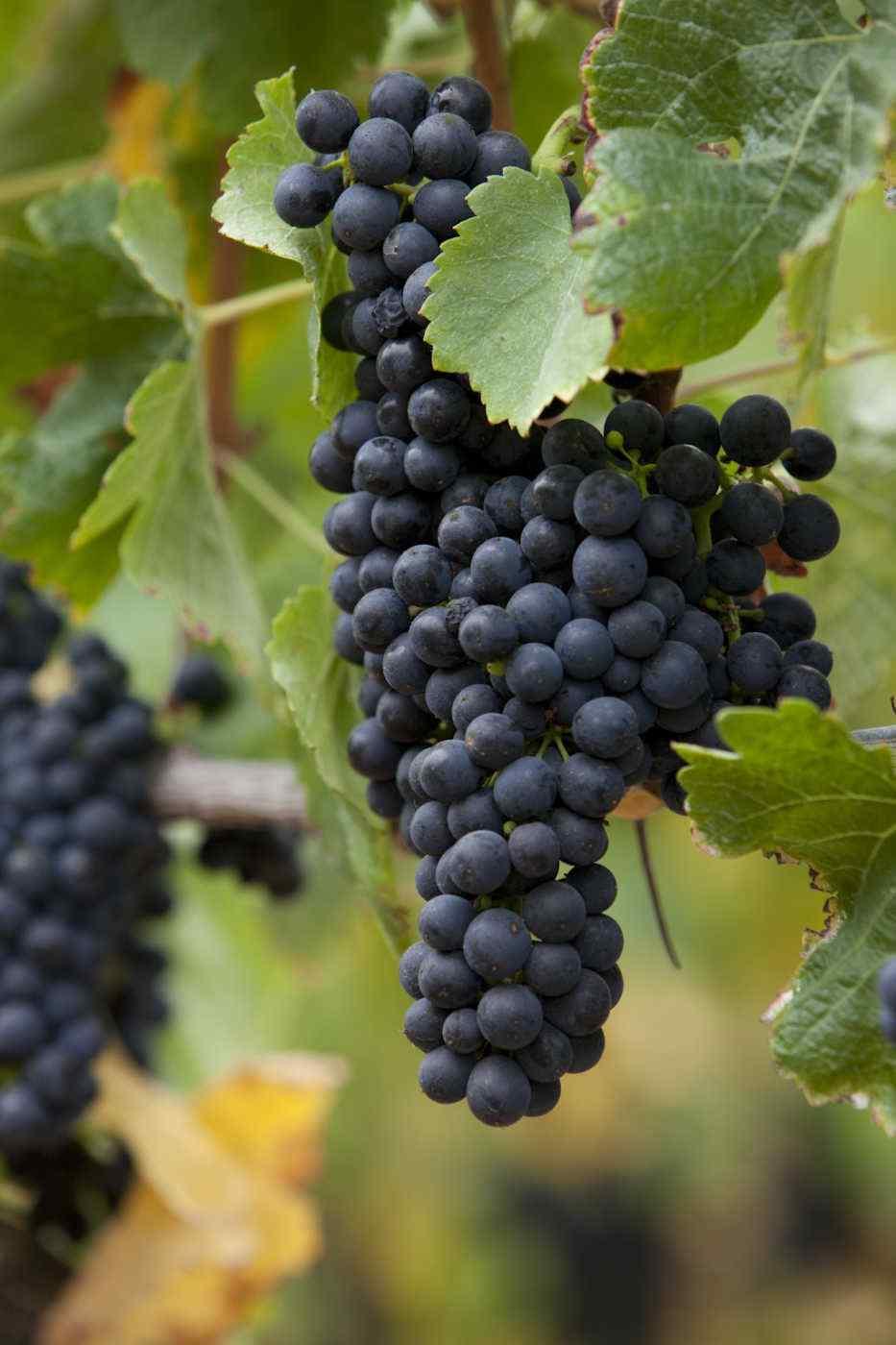 Giuseppe & Luisa Zinfandel grapes